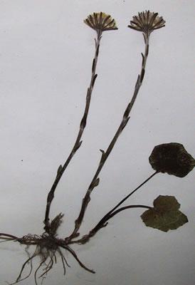 Tussilage - Plante médicinale