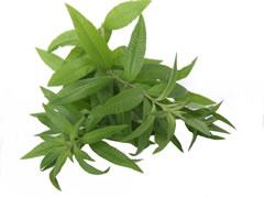 Verveine citronnelle - Verveine odorante