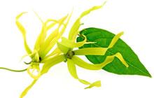 Ylang-ylang - Plante médicinale