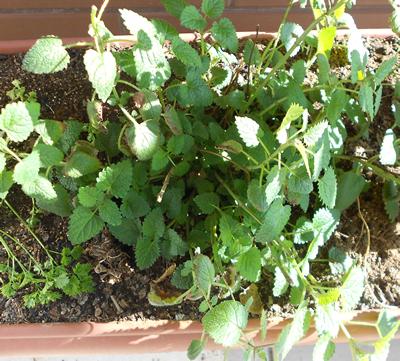 1-melisse-plante-medicinale-jardin