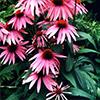 8-echinacae