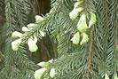 Bourgeons de sapin - toux ou bronchite