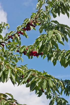 Cerise arbre nutrition