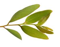 Tisane d'eucalyptus