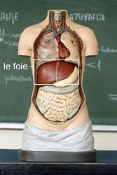 hepatite-foie