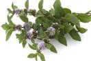 menthe poivrée plante remboursée au Brésil