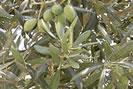 olivier Phytothérapie contre l'excès de poids