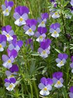 Tisane de pensée sauvage (Viola tricolor)