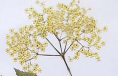Tisane de sureau (tisane des fleurs de sureau)