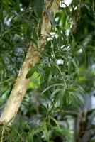 huile essentielle d'arbre à thé ingrédients