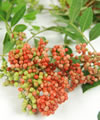 aroeira plante remboursée au Brésil