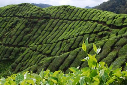 Du thé vert pour la mémoire