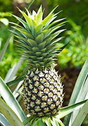 Ananas remarques intéressantes